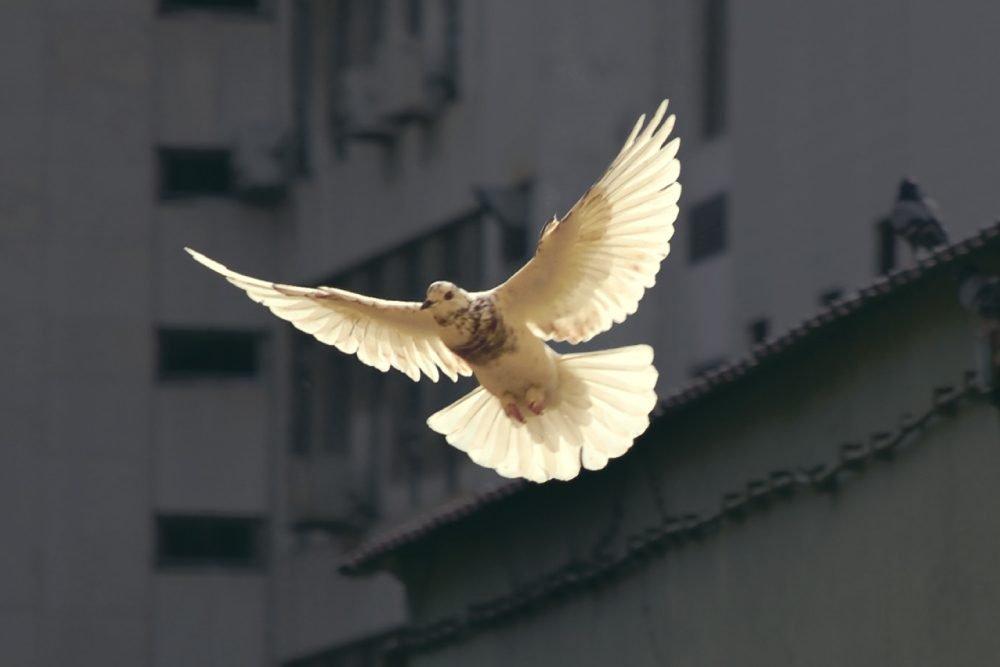 Foto de paloma blanca